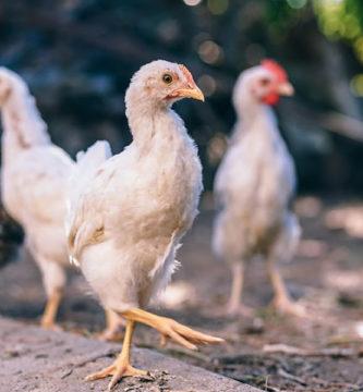 brasil exportacao frango china